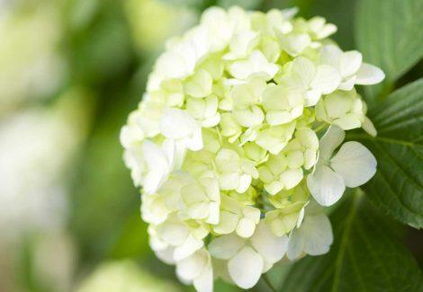 Closeup of white hydrangeas with green foliage