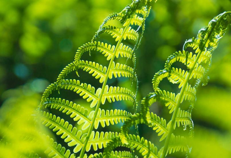 Closeup of sun beaming through bright green ostrich ferns