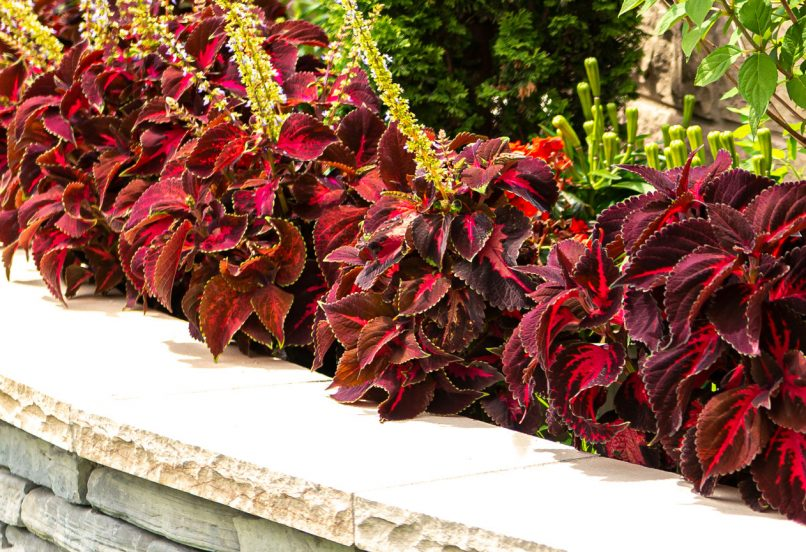 Burgundy-leaved Coleus planted inside of garden wall