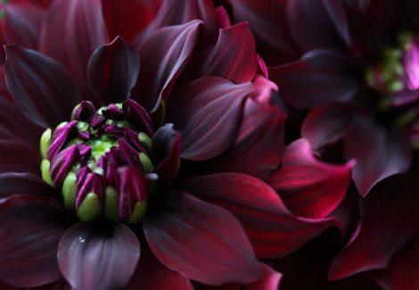 Closeup of deep plum coloured dahlia