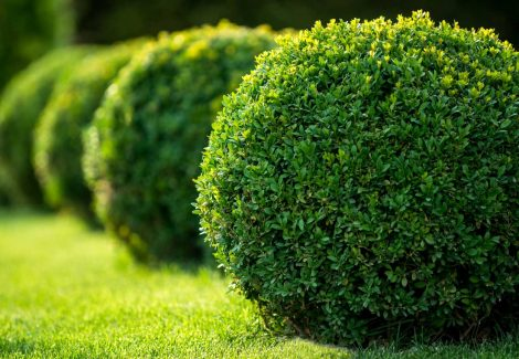 Closeup of boxwood bushes pruned into globes