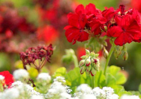 Close up of bright red geraniums