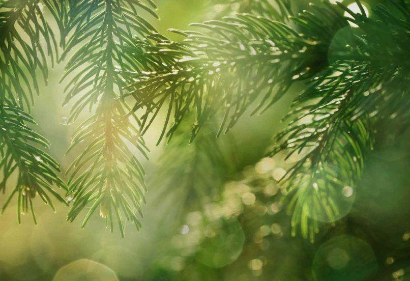 Sun shining through pine tree boughs