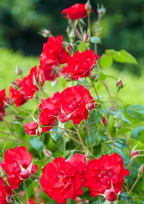 Closeup of red flowers